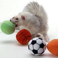 Marshall Ferrets Sport Balls Summary