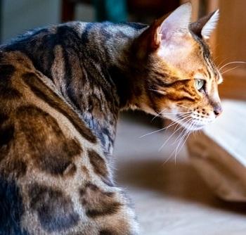 bengal cat life