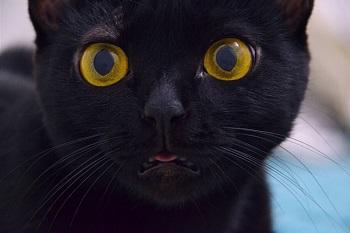 black cat life