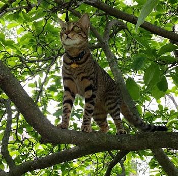 how long american shortcat lives