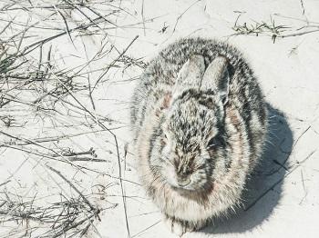 rabbit in winter