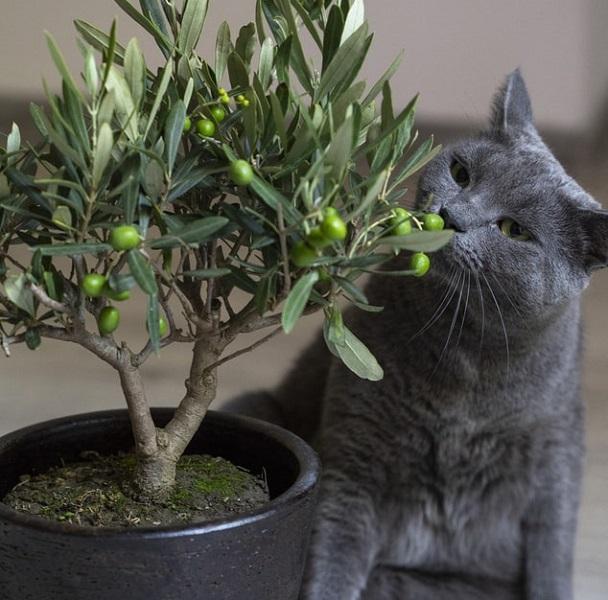 olive indoor tree