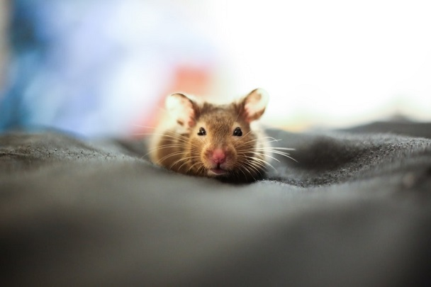 rat pet